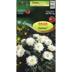 Dalia ogrodowa Dalinka Halinka